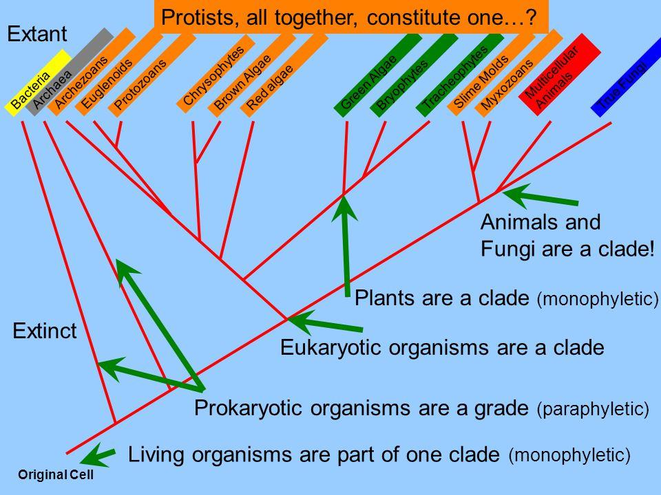 Multicellular Animals MyxozoansProtozoans Tracheophytes Bryophytes True Fungi Slime Molds Red algaeBrown AlgaeGreen Algae Chrysophytes EuglenoidsArchezoans Archaea Bacteria Original Cell Extant Extinct Living organisms are part of one clade (monophyletic) Eukaryotic organisms are a clade Prokaryotic organisms are a grade (paraphyletic) Protists, all together, constitute one….
