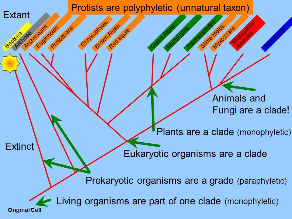 Multicellular Animals MyxozoansProtozoans Tracheophytes Bryophytes True Fungi Slime Molds Red algaeBrown AlgaeGreen Algae Chrysophytes EuglenoidsArchezoans Archaea Bacteria Original Cell Extant Extinct Living organisms are part of one clade (monophyletic) Eukaryotic organisms are a clade Prokaryotic organisms are a grade (paraphyletic) Protists are polyphyletic (unnatural taxon) Plants are a clade (monophyletic) Animals and Fungi are a clade!