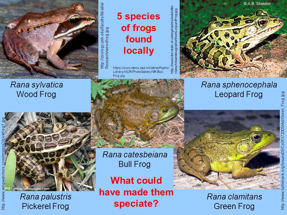 http://zoology.unh.edu/faculty/litvaitis/ Research/woodfrog.jpg Rana sylvatica Wood Frog http://www.dnr.state.wi.us/org/caer/ce/eek/critte r/amphibian/images/northernLeopardFrog.jpg Rana sphenocephala Leopard Frog http://www.wingwatchers.com/images2/pickfrog1.jpg Rana palustris Pickerel Frog http://www.turtletrack.org/Issues03/Co05172003/Art/Green_Frog.jpg Rana clamitans Green Frog https://www.denix.osd.mil/denix/Public/ Library/NCR/PhotoGallery/NR-Bull- frog.jpg Rana catesbeiana Bull Frog 5 species of frogs found locally What could have made them speciate