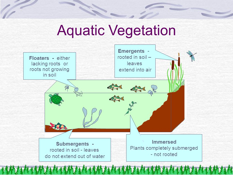 Aquatic Vegetation Emergents - rooted in soil – leaves extend into air Floaters - either lacking roots or roots not growing in soil Submergents - rooted in soil - leaves do not extend out of water Immersed Plants completely submerged - not rooted