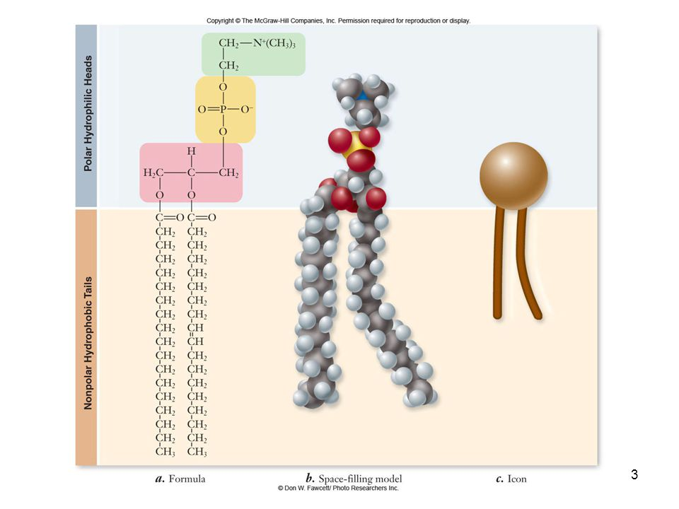 14 Structure relates to function Diverse functions arise from the diverse structures of membrane proteins Have common structural features related to their role as membrane proteins Peripheral proteins –Anchoring molecules attach membrane protein to surface