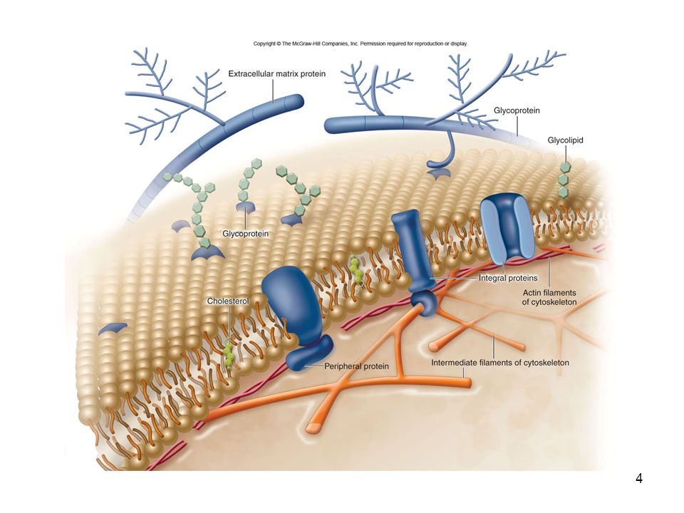 5 Cellular membranes have 4 components 1.Phospholipid bilayer Flexible matrix, barrier to permeability 2.Transmembrane proteins Integral membrane proteins 3.Interior protein network Peripheral membrane proteins 4.Cell surface markers Glycoproteins and glycolipids