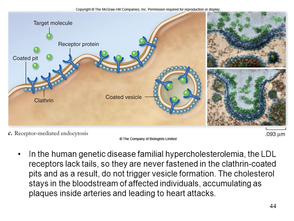 In the human genetic disease familial hypercholesterolemia, the LDL receptors lack tails, so they are never fastened in the clathrin-coated pits and a