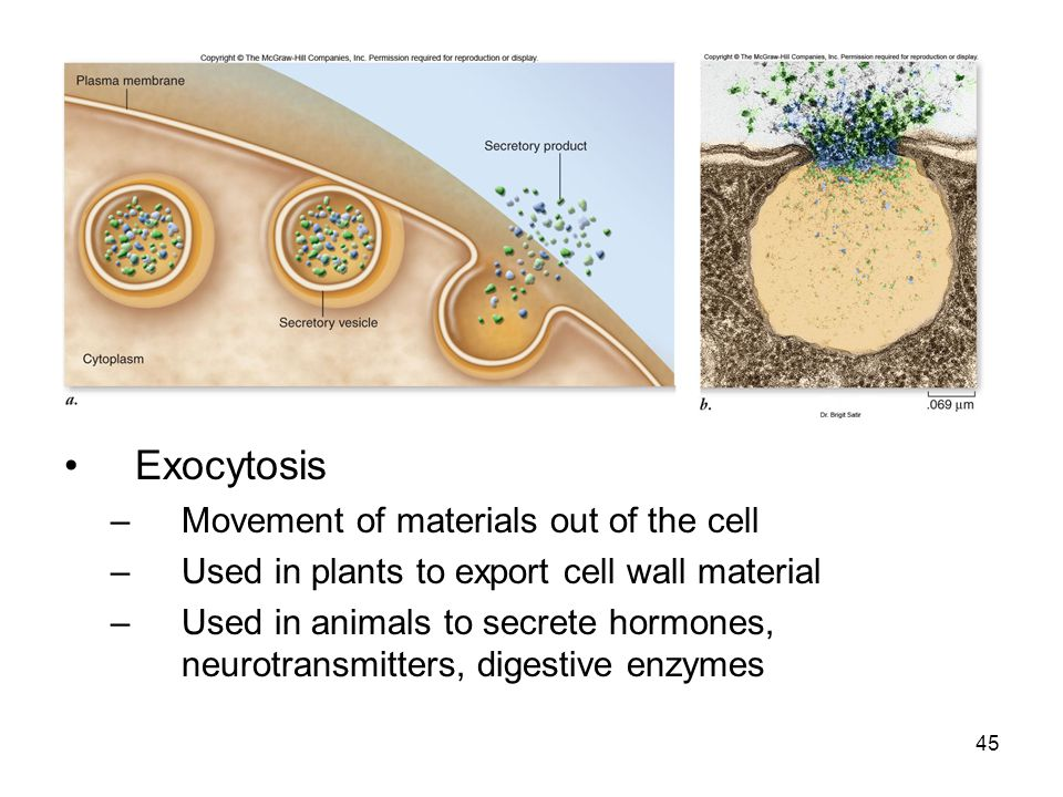 Exocytosis –Movement of materials out of the cell –Used in plants to export cell wall material –Used in animals to secrete hormones, neurotransmitters
