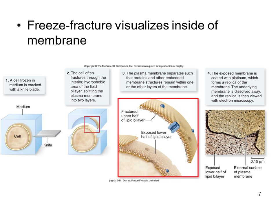 Freeze-fracture visualizes inside of membrane 7