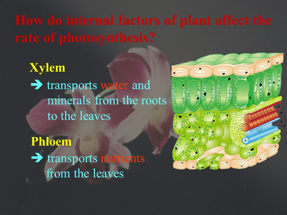 7) Vascular bundles  contains xylem and phloem  for transport solutions containing chemical which plants need.
