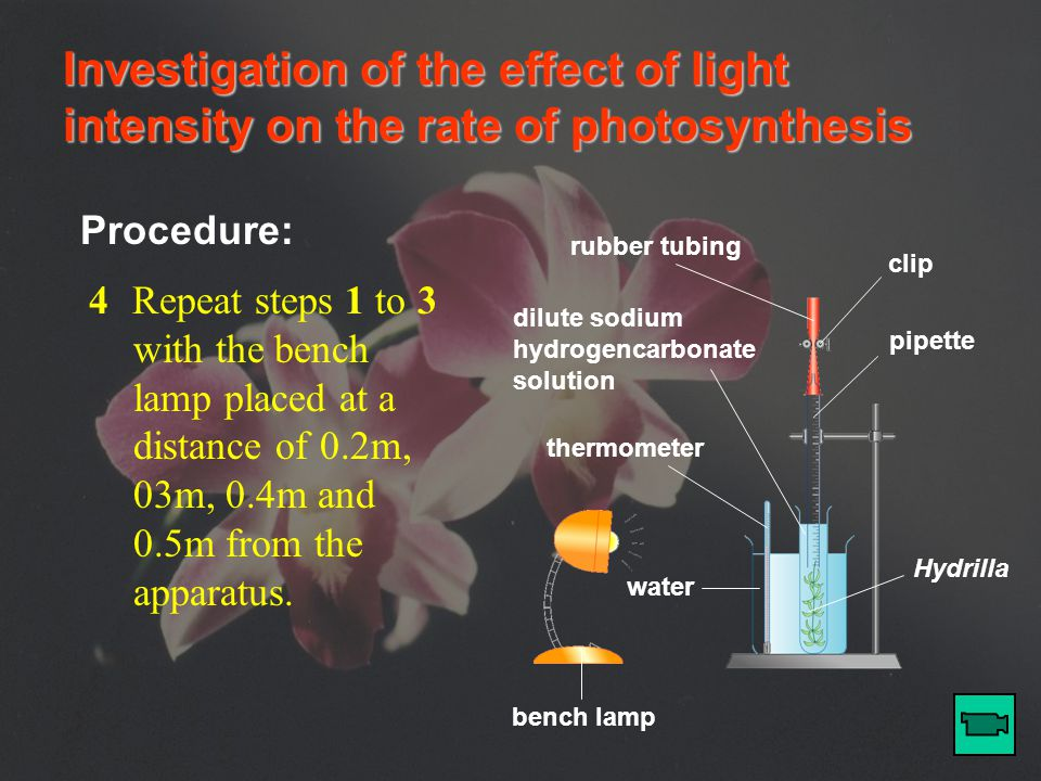 Investigation of the effect of light intensity on the rate of photosynthesis Procedure: bench lamp thermometer water rubber tubing clip pipette dilute sodium hydrogencarbonate solution Hydrilla 3After 5 minutes, record the final position of the meniscus in the pipette.