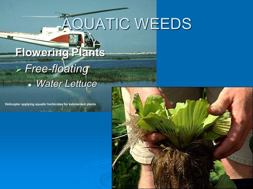 AQUATIC WEEDS Flowering Plants  Free-floating Water Lettuce Water Lettuce