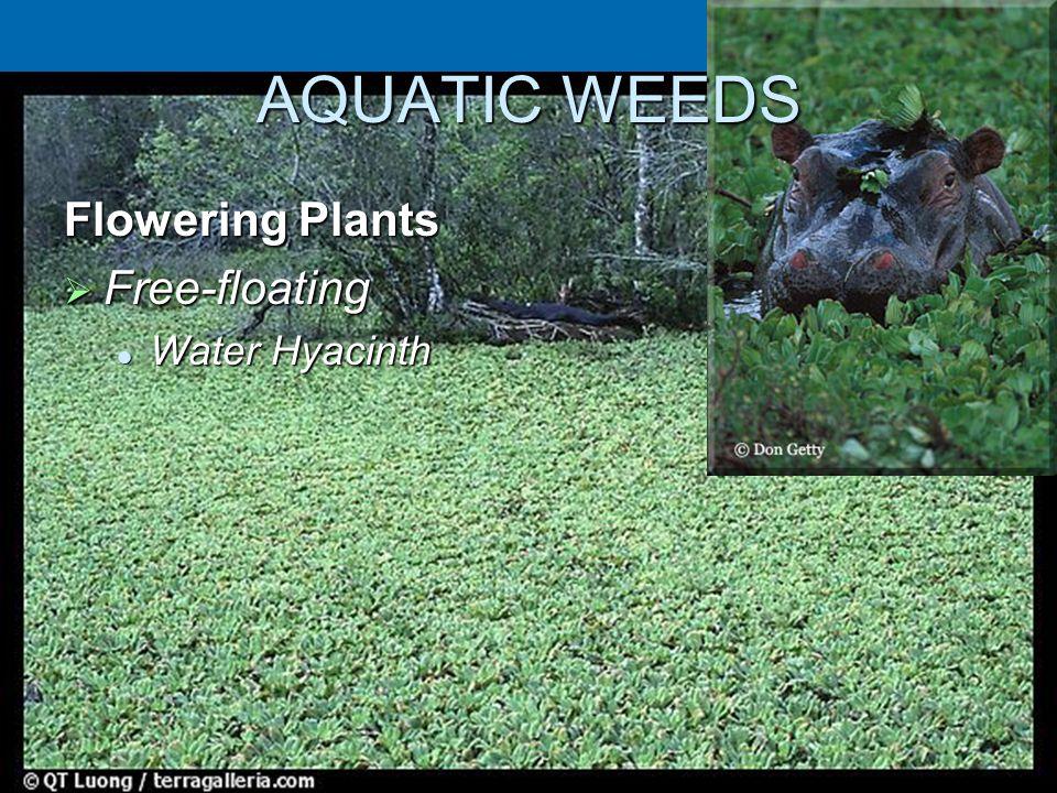 AQUATIC WEEDS Flowering Plants  Free-floating Water Hyacinth Water Hyacinth