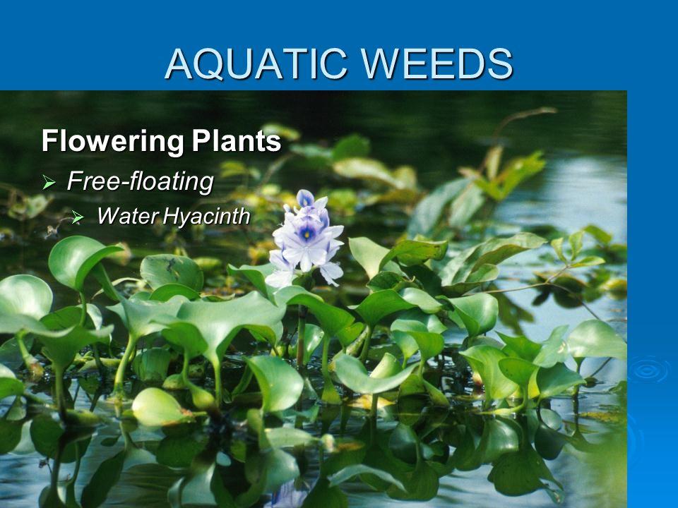 AQUATIC WEEDS Flowering Plants  Free-floating  Water Hyacinth