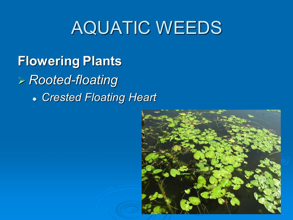 AQUATIC WEEDS Flowering Plants  Rooted-floating Crested Floating Heart Crested Floating Heart