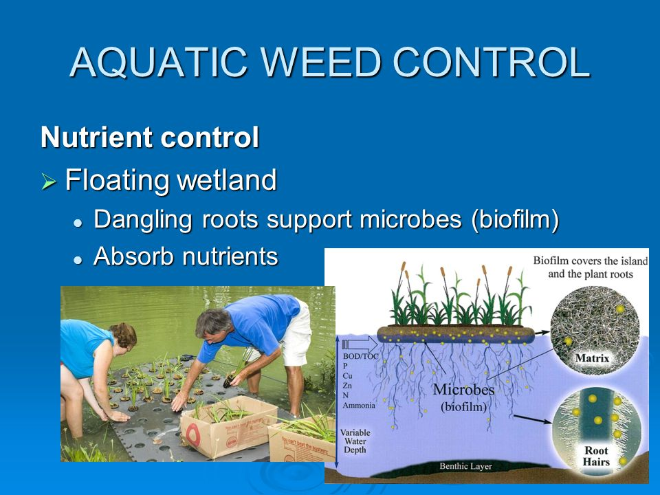 AQUATIC WEED CONTROL Nutrient control  Floating wetland Dangling roots support microbes (biofilm) Dangling roots support microbes (biofilm) Absorb nutrients Absorb nutrients