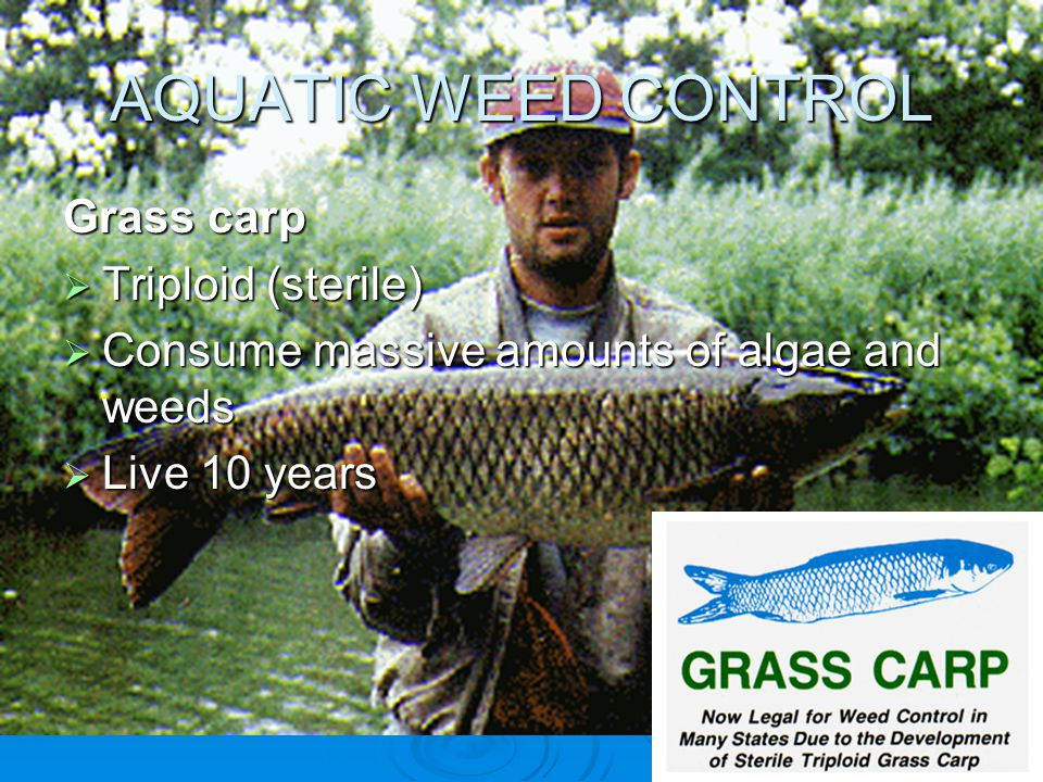 AQUATIC WEED CONTROL Grass carp  Triploid (sterile)  Consume massive amounts of algae and weeds  Live 10 years