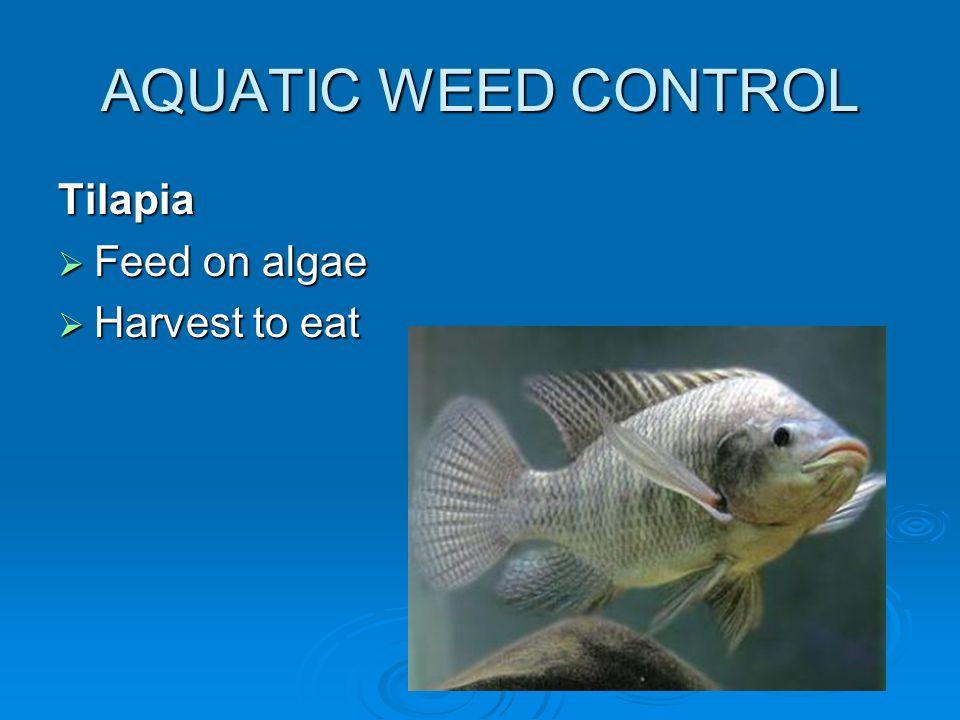 AQUATIC WEED CONTROL Tilapia  Feed on algae  Harvest to eat