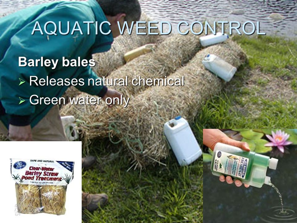 AQUATIC WEED CONTROL Barley bales  Releases natural chemical  Green water only