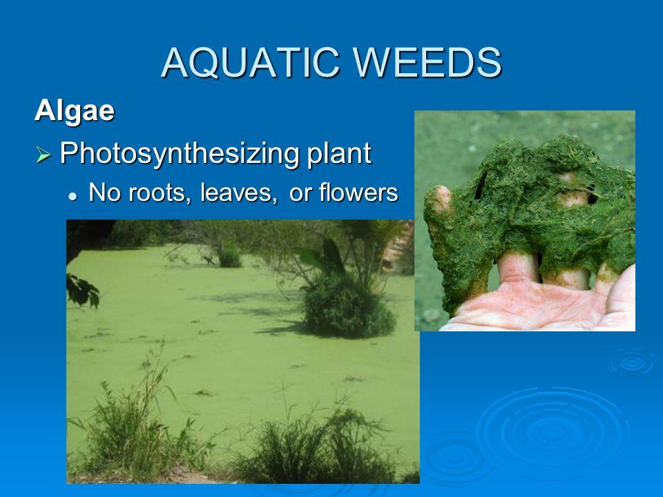 AQUATIC WEEDS Algae  Photosynthesizing plant No roots, leaves, or flowers No roots, leaves, or flowers