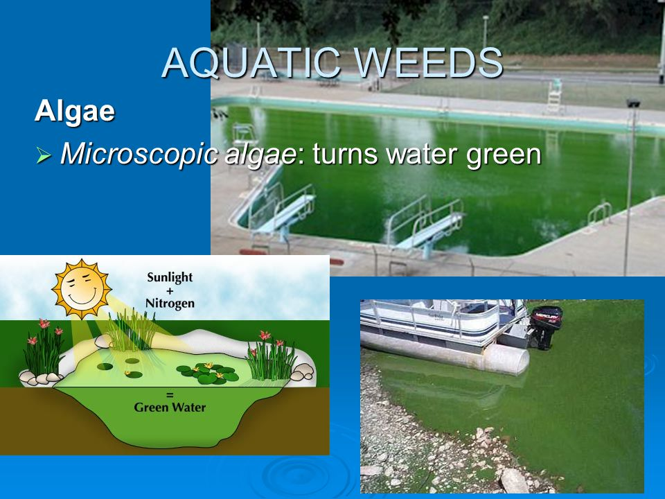 AQUATIC WEEDS Algae  Microscopic algae: turns water green