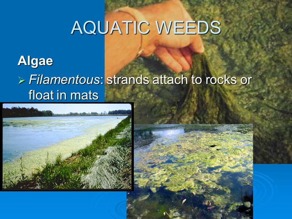 AQUATIC WEEDS Algae  Filamentous: strands attach to rocks or float in mats
