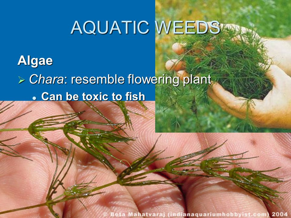 AQUATIC WEEDS Algae  Chara: resemble flowering plant Can be toxic to fish Can be toxic to fish