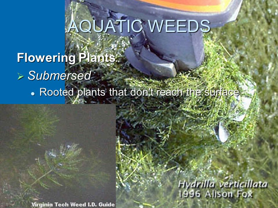 AQUATIC WEEDS Flowering Plants  Submersed Rooted plants that don t reach the surface Rooted plants that don t reach the surface