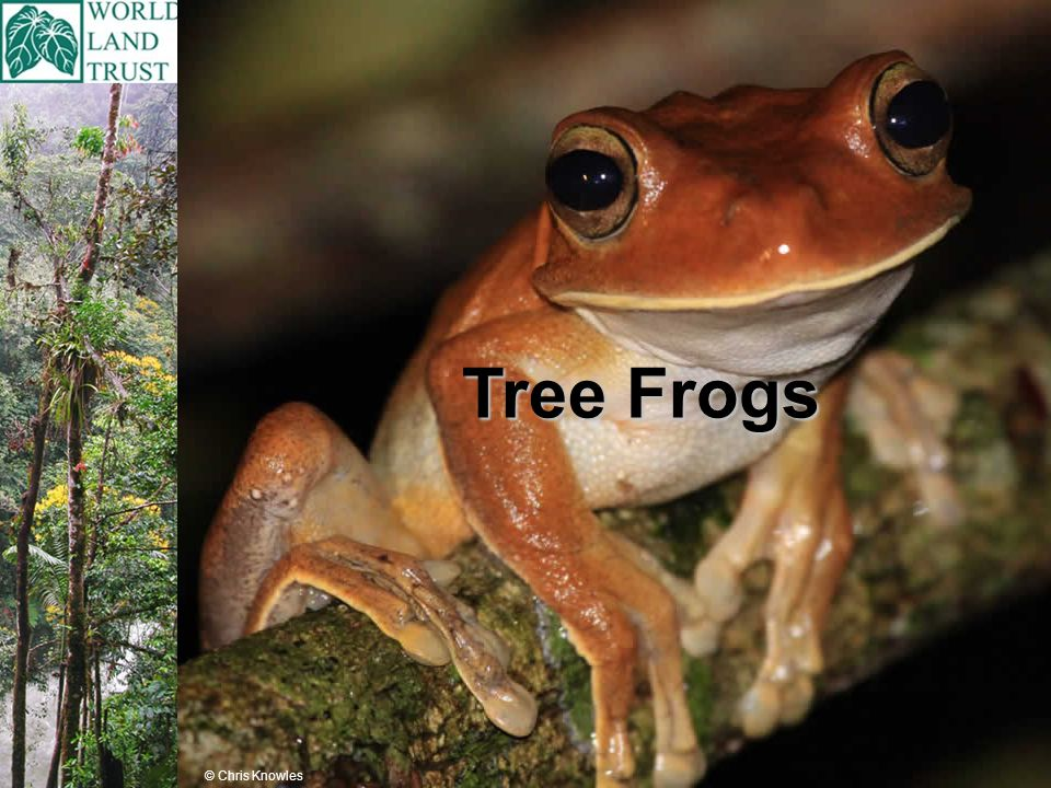 Tree Frogs © Chris Knowles