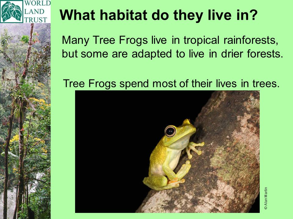 What habitat do they live in? Tree Frogs spend most of their lives in trees. Many Tree Frogs live in tropical rainforests, but some are adapted to liv