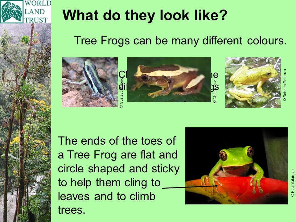 What do they look like? Tree Frogs can be many different colours. The ends of the toes of a Tree Frog are flat and circle shaped and sticky to help th