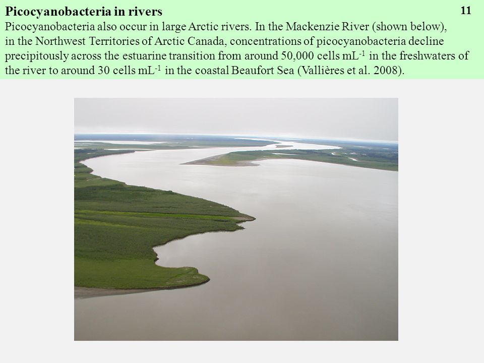 Picocyanobacteria in rivers Picocyanobacteria also occur in large Arctic rivers.