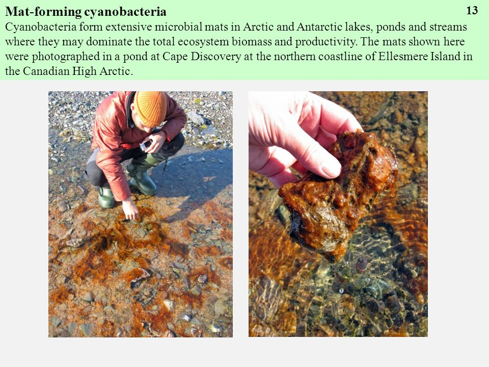 Mat-forming cyanobacteria Cyanobacteria form extensive microbial mats in Arctic and Antarctic lakes, ponds and streams where they may dominate the total ecosystem biomass and productivity.