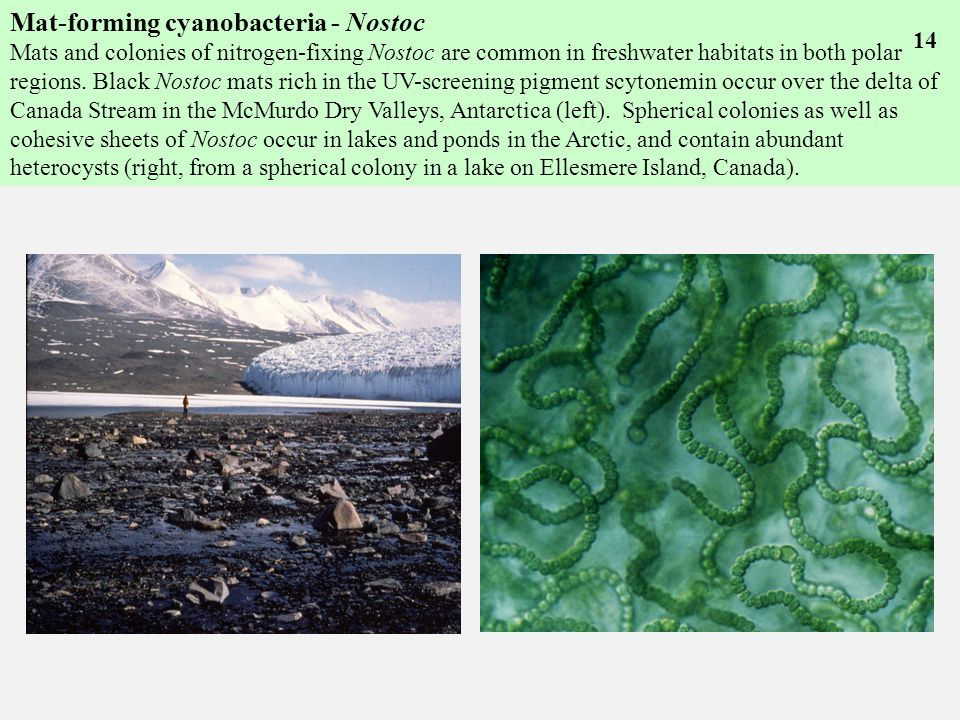 Mat-forming cyanobacteria - Nostoc Mats and colonies of nitrogen-fixing Nostoc are common in freshwater habitats in both polar regions.