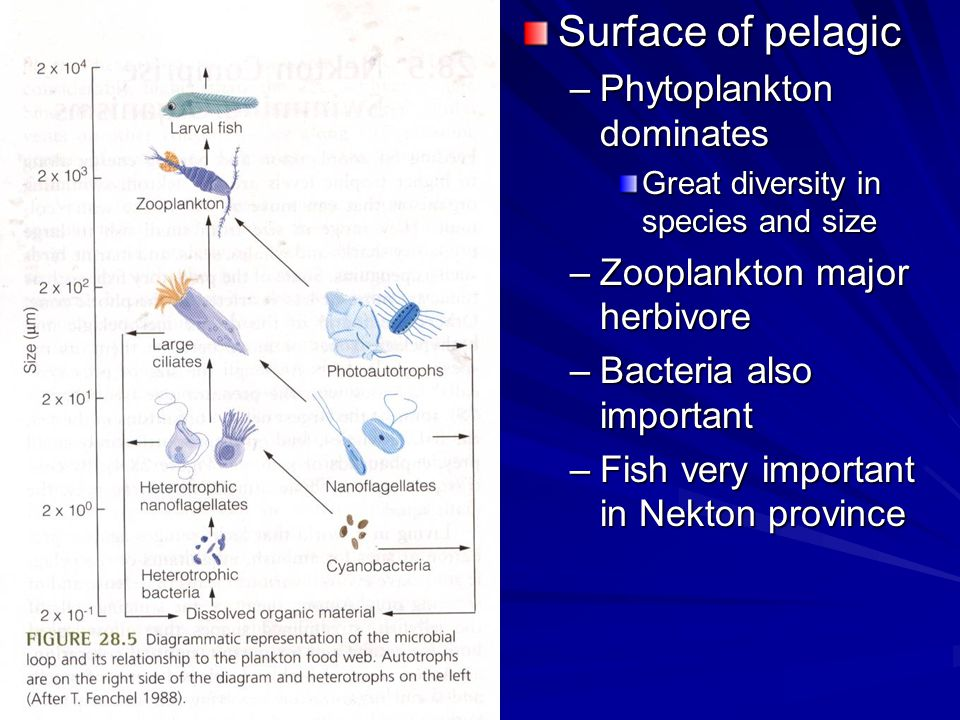 Surface of pelagic –Phytoplankton dominates Great diversity in species and size –Zooplankton major herbivore –Bacteria also important –Fish very impor