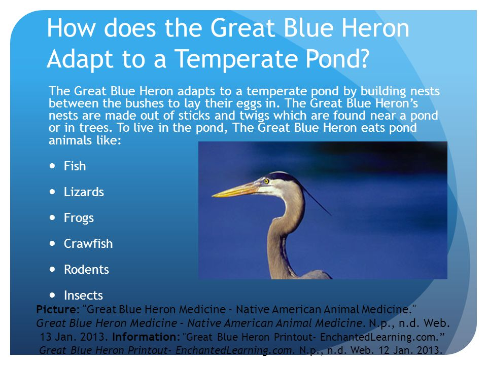 How does the Great Blue Heron Adapt to a Temperate Pond.