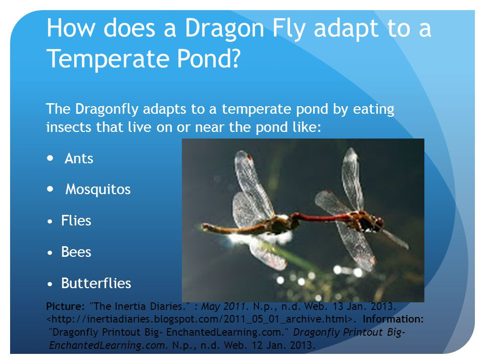 How does a Dragon Fly adapt to a Temperate Pond.
