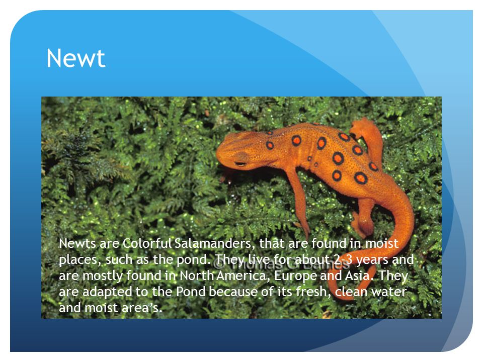 Newt Newts are Colorful Salamanders, that are found in moist places, such as the pond.