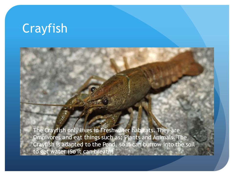 Crayfish The Crayfish only lives in Freshwater habitats. They are Omnivores and eat things such as; Plants and Animals. The Crayfish is adapted to the