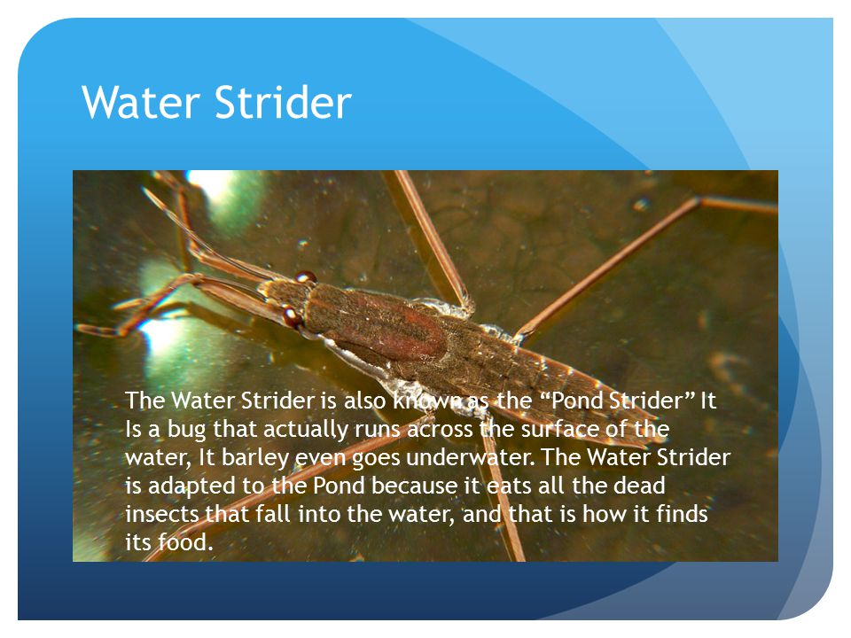 Water Strider The Water Strider is also known as the Pond Strider It Is a bug that actually runs across the surface of the water, It barley even goes underwater.