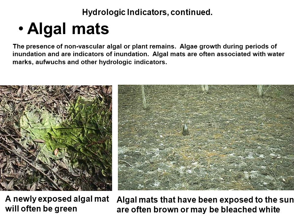 Hydrologic Indicators, continued. Algal mats The presence of non-vascular algal or plant remains. Algae growth during periods of inundation and are in