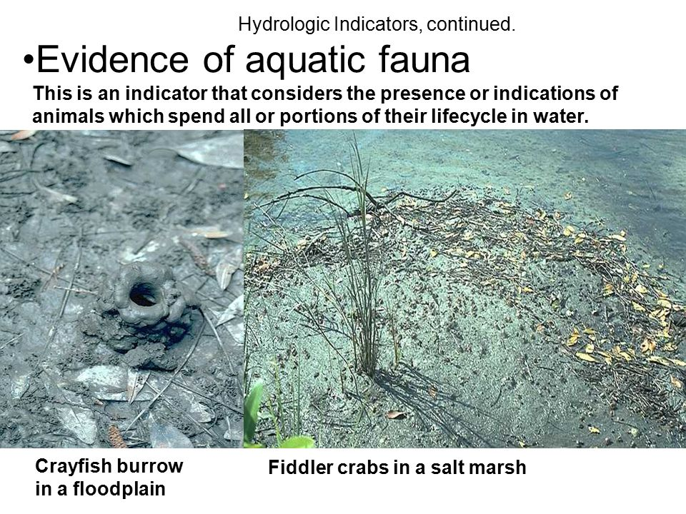 Evidence of aquatic fauna Hydrologic Indicators, continued. This is an indicator that considers the presence or indications of animals which spend all