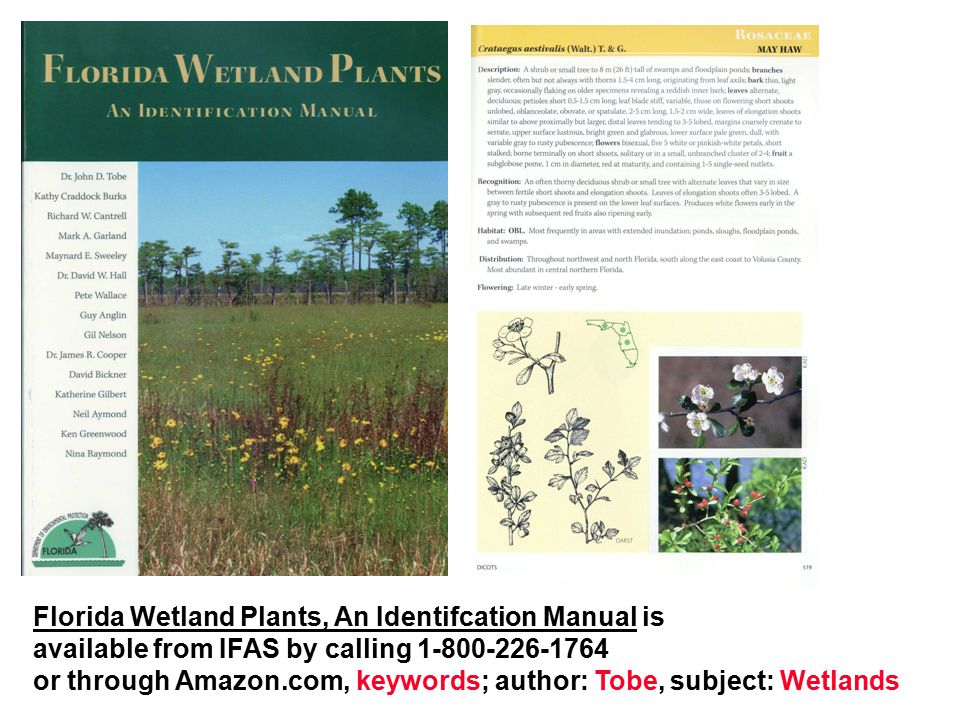 Florida Wetland Plants, An Identifcation Manual is available from IFAS by calling 1-800-226-1764 or through Amazon.com, keywords; author: Tobe, subjec