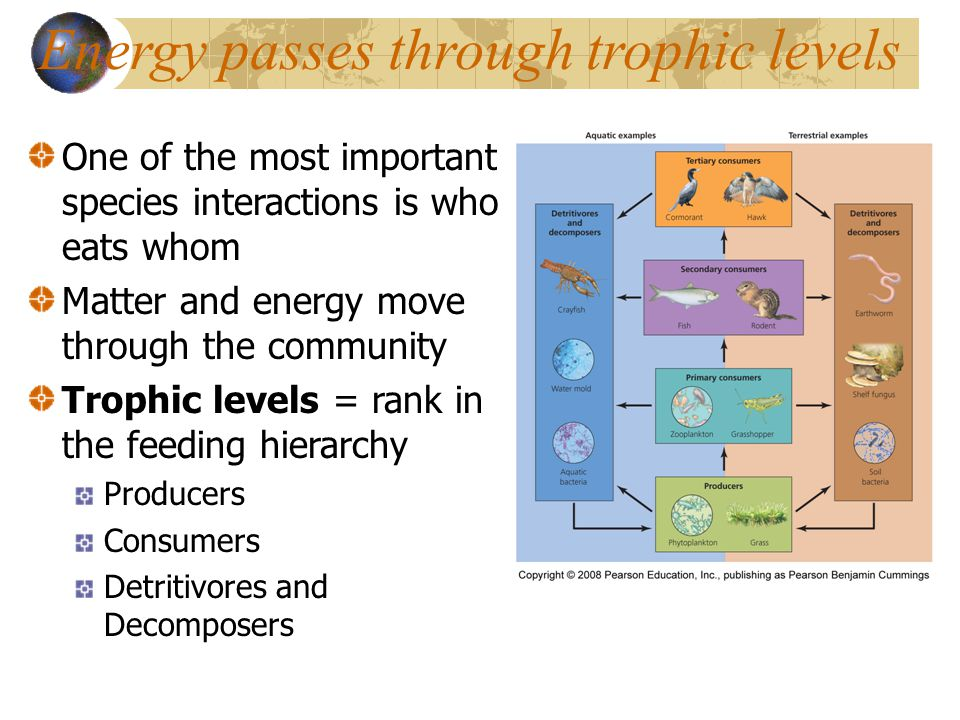 Energy passes through trophic levels One of the most important species interactions is who eats whom Matter and energy move through the community Trophic levels = rank in the feeding hierarchy Producers Consumers Detritivores and Decomposers