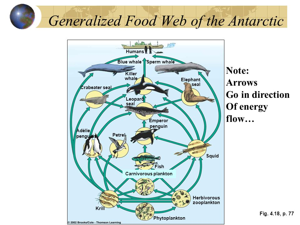 Generalized Food Web of the Antarctic Fig. 4.18, p. 77 Humans Blue whaleSperm whale Crabeater seal Killer whale Elephant seal Leopard seal Adélie peng