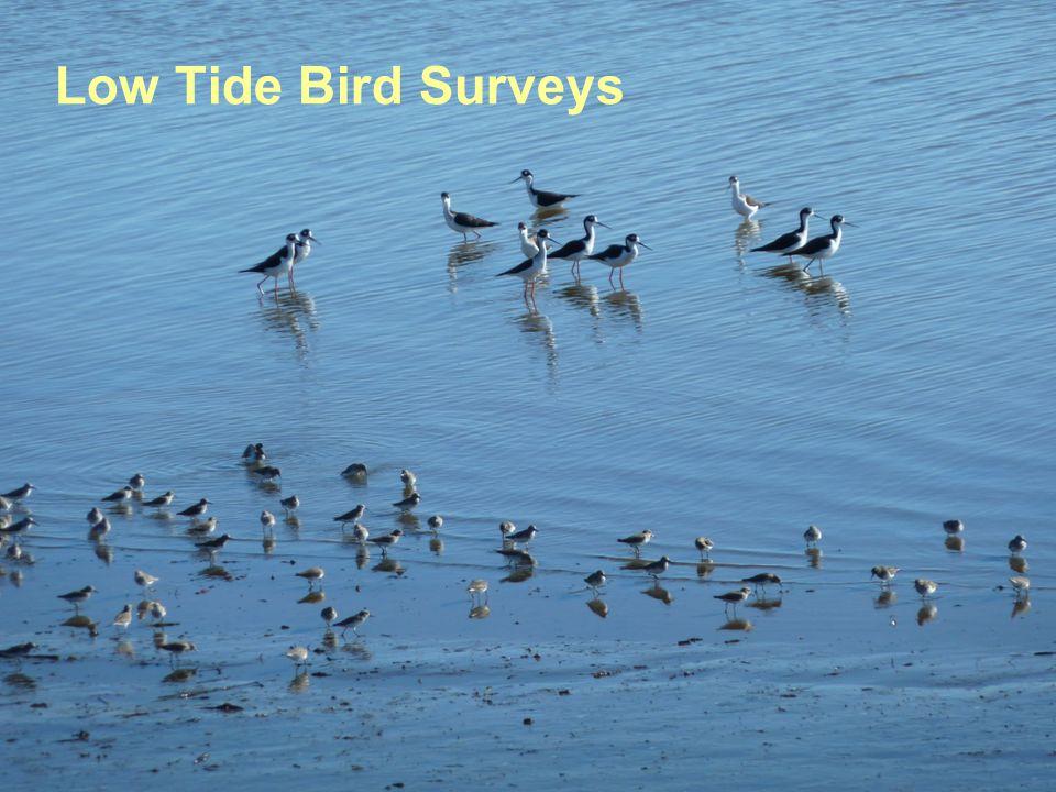 Low Tide Bird Surveys