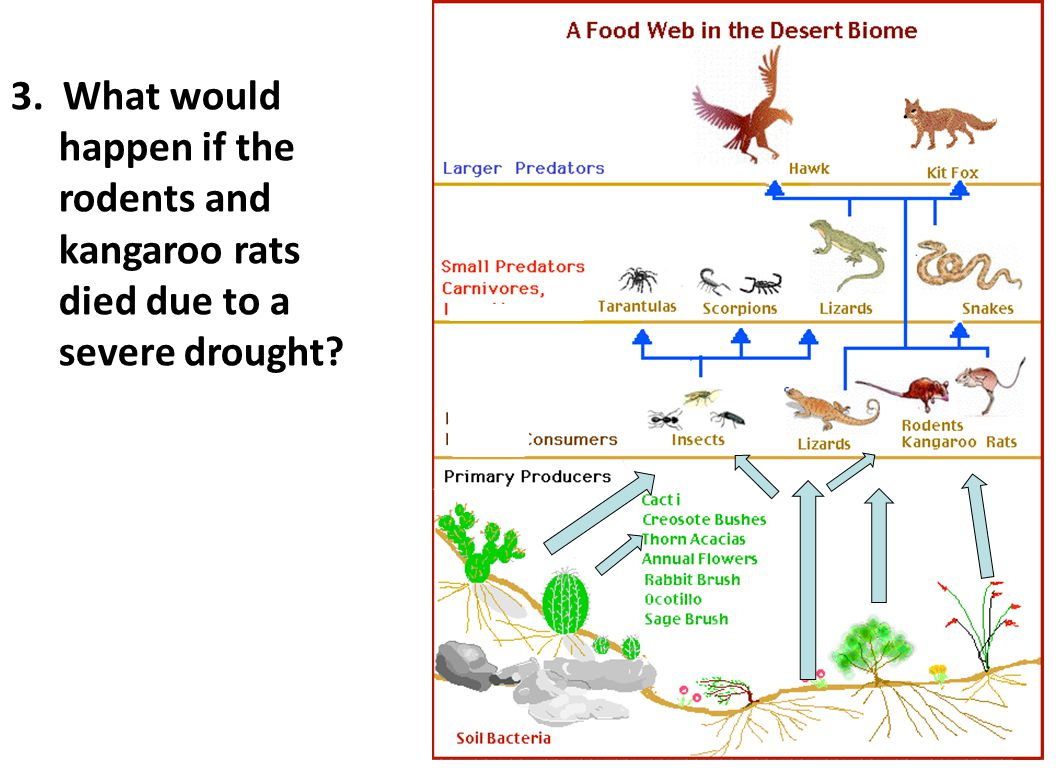 3. What would happen if the rodents and kangaroo rats died due to a severe drought?