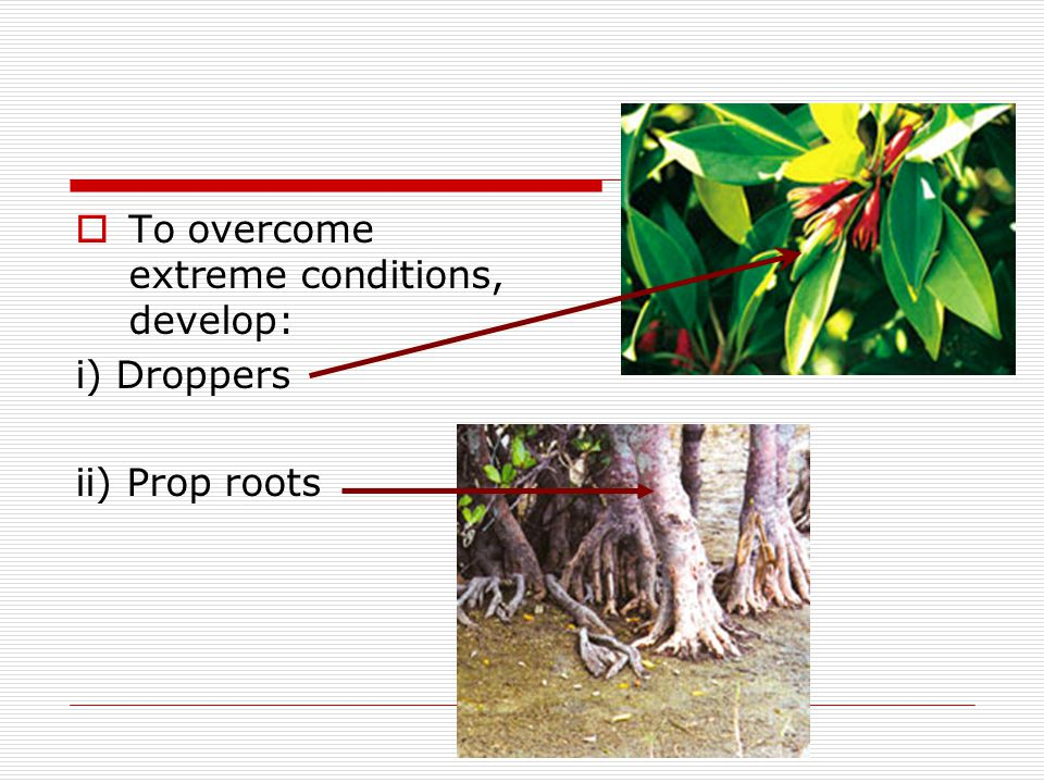 TTo overcome extreme conditions, develop: i) Droppers ii) Prop roots