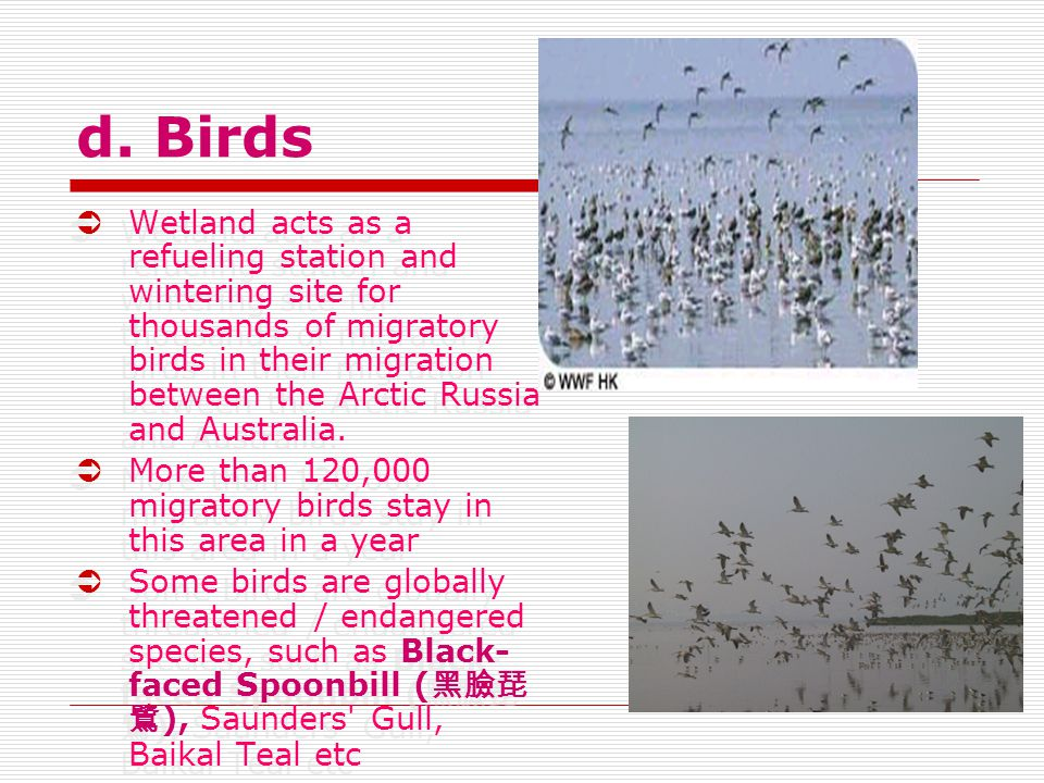 d. Birds  Wetland acts as a refueling station and wintering site for thousands of migratory birds in their migration between the Arctic Russia and Au