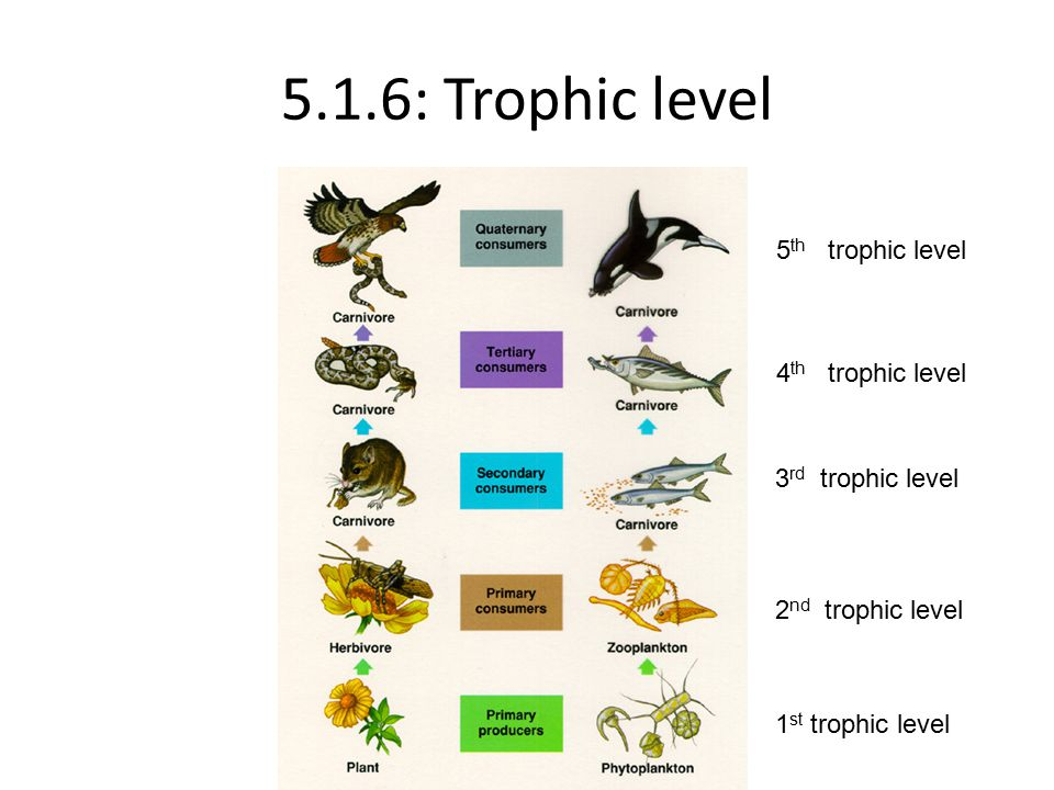 5.1.6: Trophic level 1 st trophic level 2 nd trophic level 3 rd trophic level 4 th trophic level 5 th trophic level