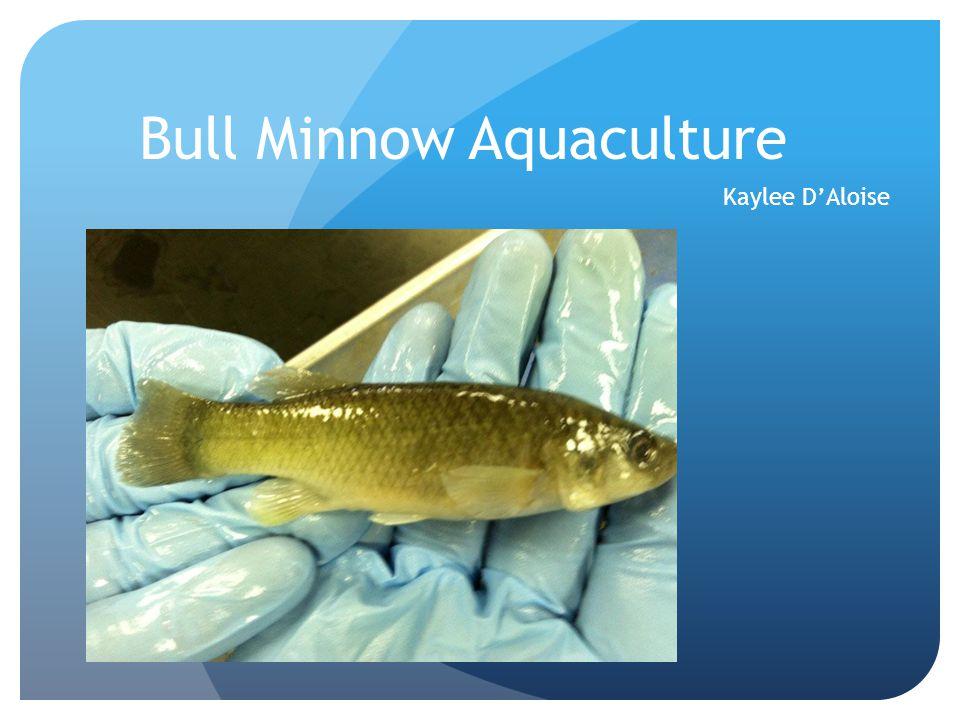 Bull Minnow Aquaculture Kaylee D'Aloise