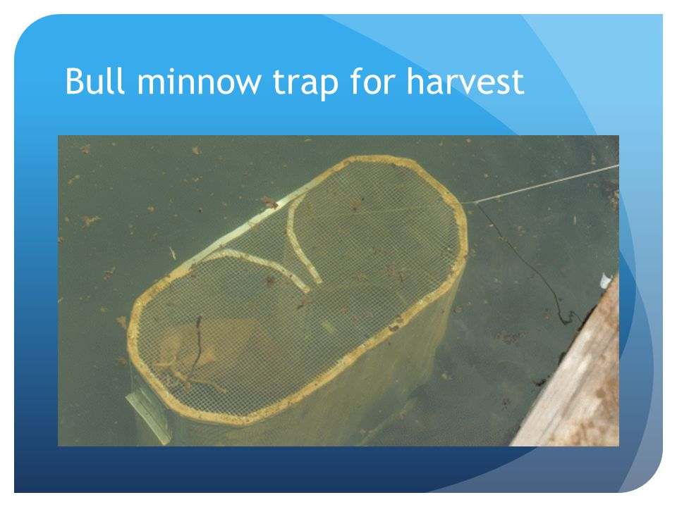 Bull minnow trap for harvest