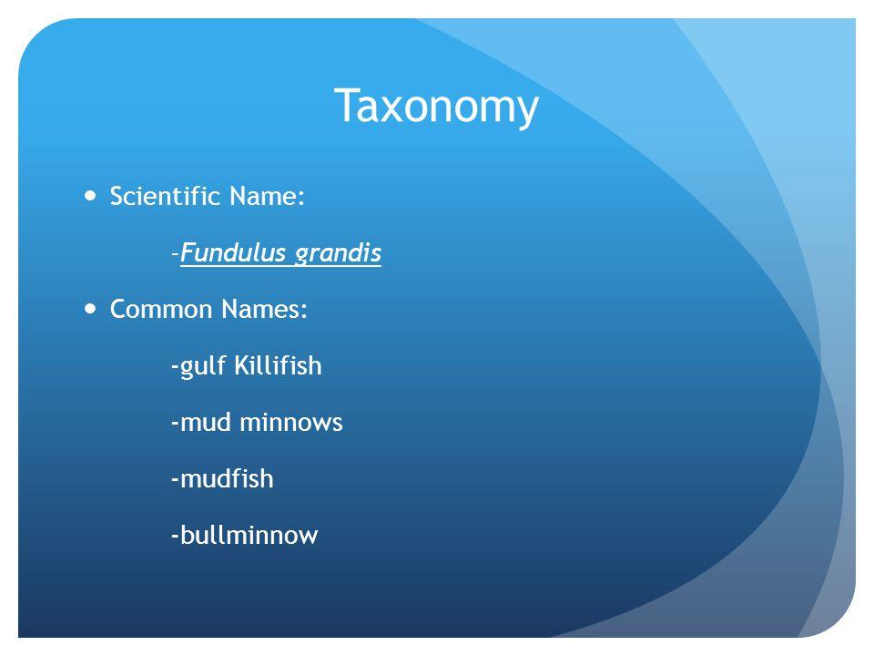 Taxonomy Scientific Name: -Fundulus grandis Common Names: -gulf Killifish -mud minnows -mudfish -bullminnow