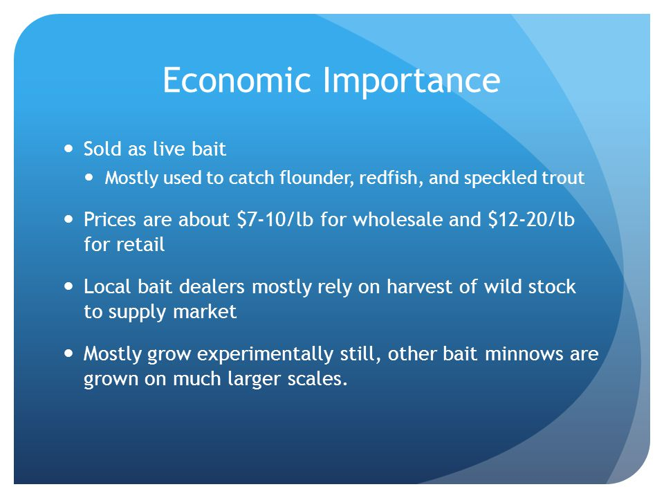 Economic Importance Sold as live bait Mostly used to catch flounder, redfish, and speckled trout Prices are about $7-10/lb for wholesale and $12-20/lb